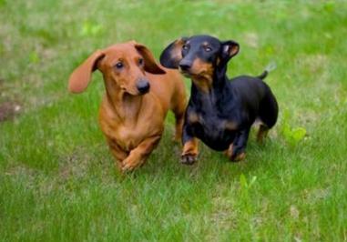 dachshund 3 Kikis de la Creme